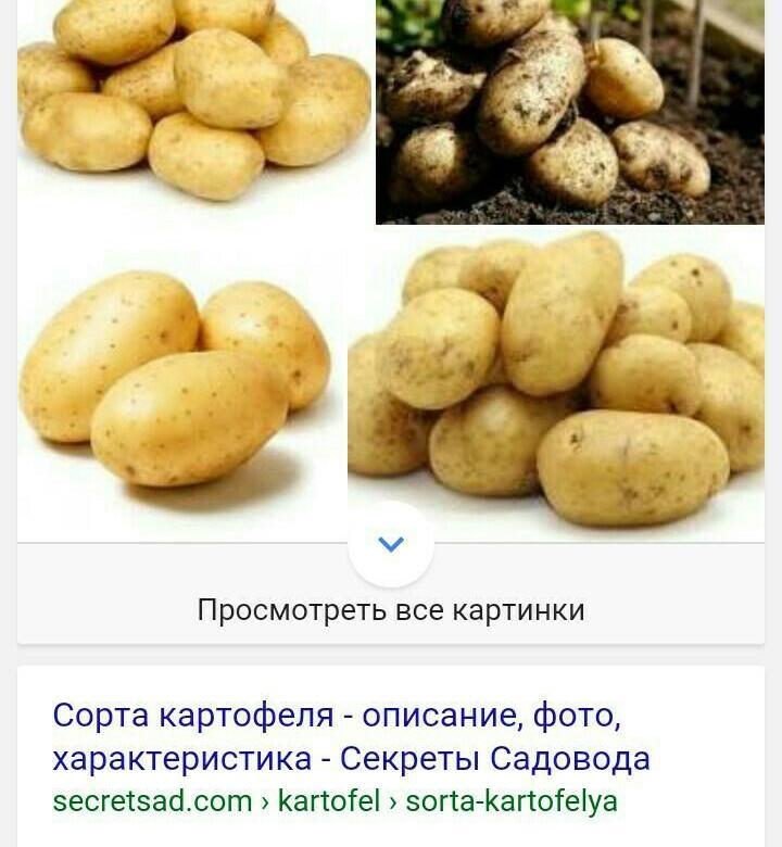 Среднеранний сорт картофеля «красавчик» с потрясающим вкусом
