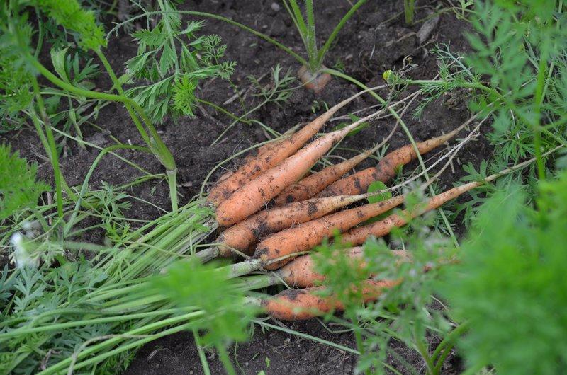Когда убирать морковь с грядки на хранение в 2019 году: когда копать