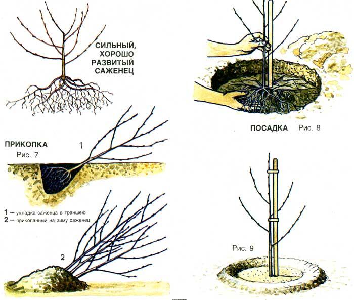 19 сортов вишни для урала - посадка и уход, когда спеет войлочная, выращивание, какие лучше садить