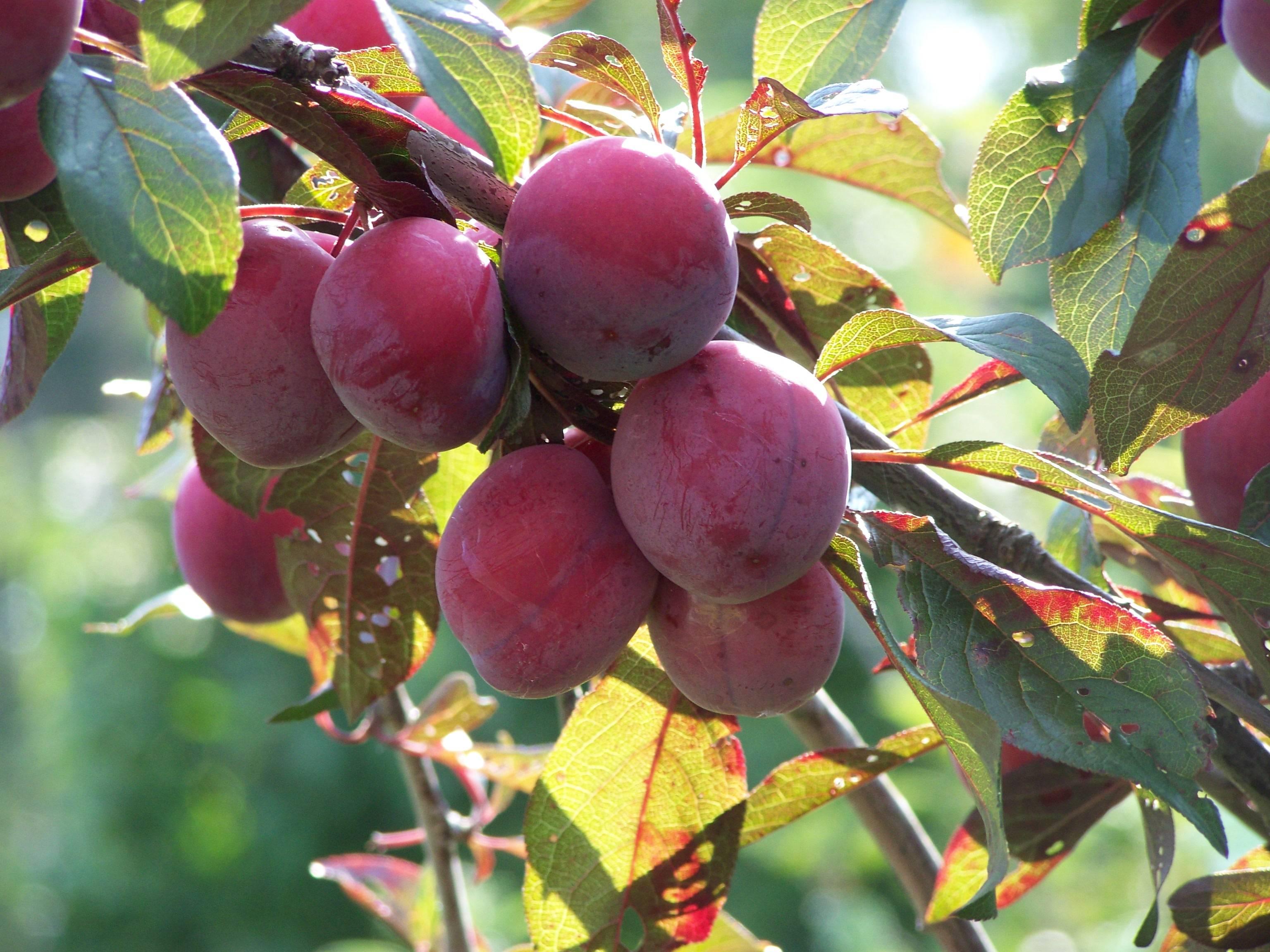 Слива маньчжурская красавица: описание сорта, опылители, посадка и уход