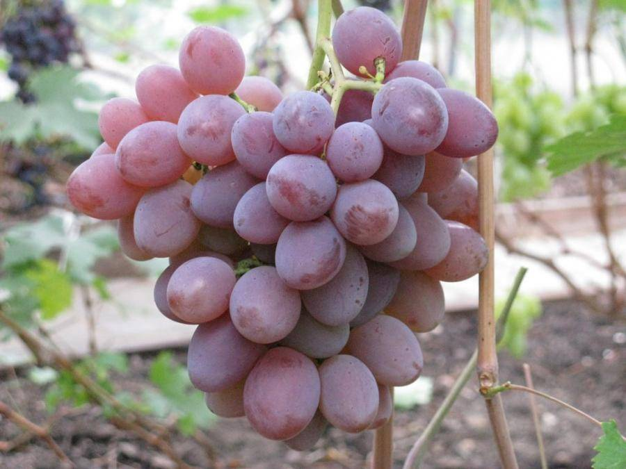 Пино гриджио: сорт винограда гри, описание и характеристика вкусовых качеств, а также особенности выращивания