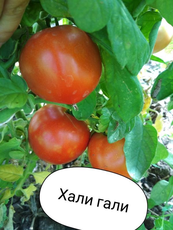 Томат хали гали характеристика и описание сорта - журнал садовода ryazanameli.ru