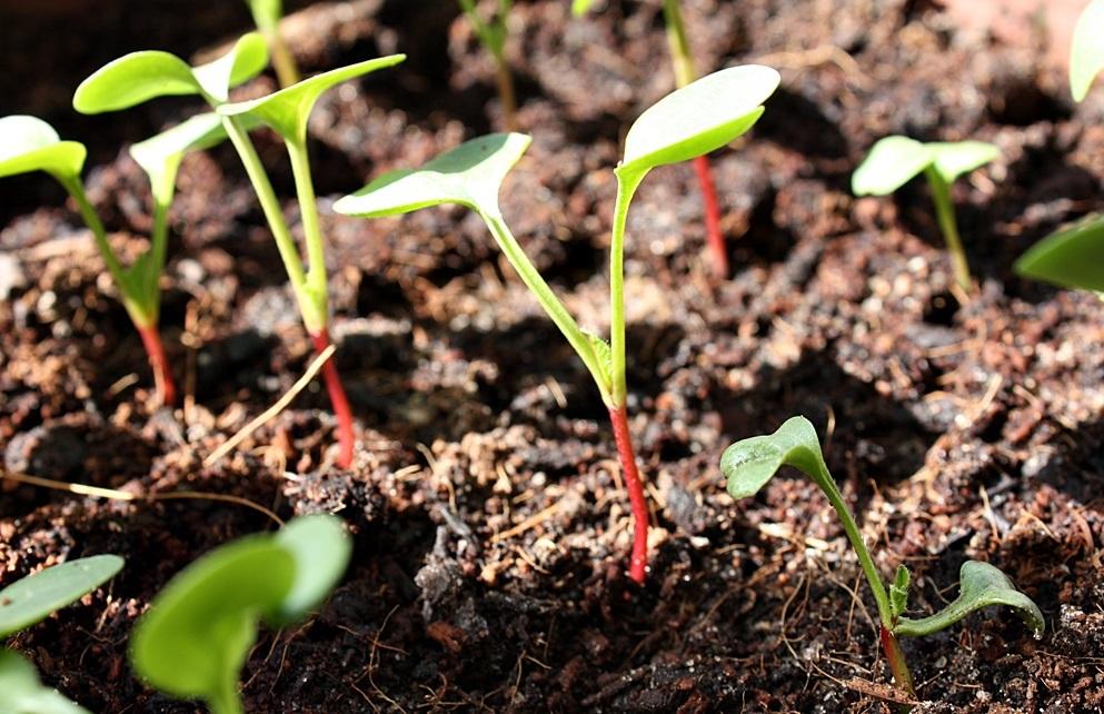 Выращивание редиса в теплице хрустящие витамины в начале весны