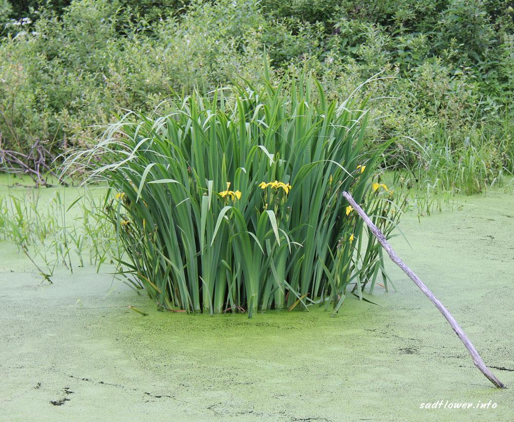Ирис болотный: описание, посадка и уход