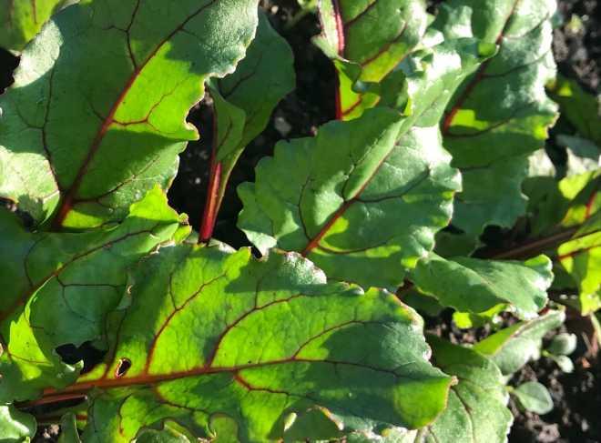 Почему чернеют листья у свеклы: причины, что делать, как предотвратить