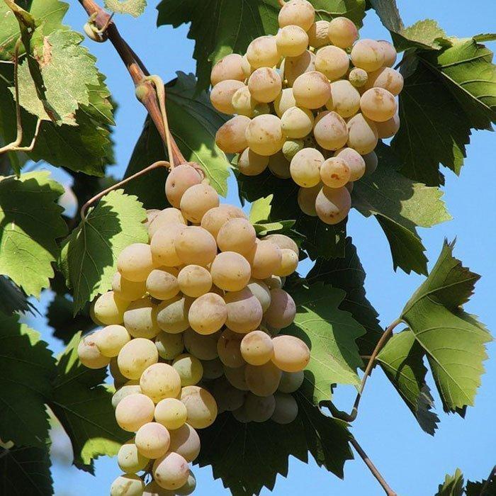 Виноград бианка, особенности ухода за сортом бьянка