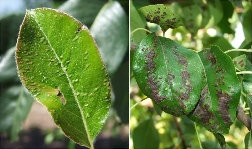 Галловый клещ - борьба с клещом, как выглядит пораженное растение