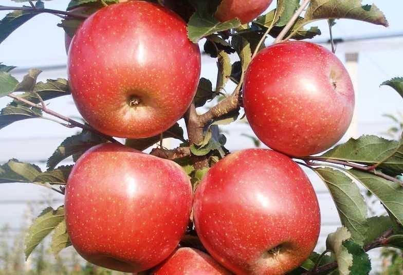 Яблоки сорта «фуджи»: фото, характеристика, достоинства и недостатки. особенности выращивания яблок «фуджи»: уход - автор екатерина данилова - журнал женское мнение