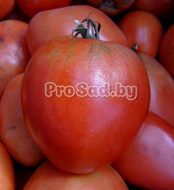Томат настя сибирячка — описание и характеристика сорта