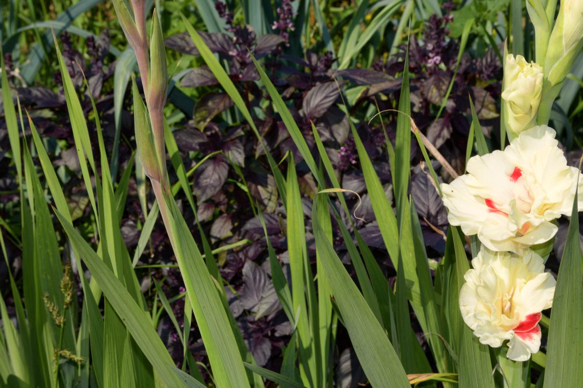 Гладиолусы: посадка и уход в открытом грунте, выращивание и лучшие сорта