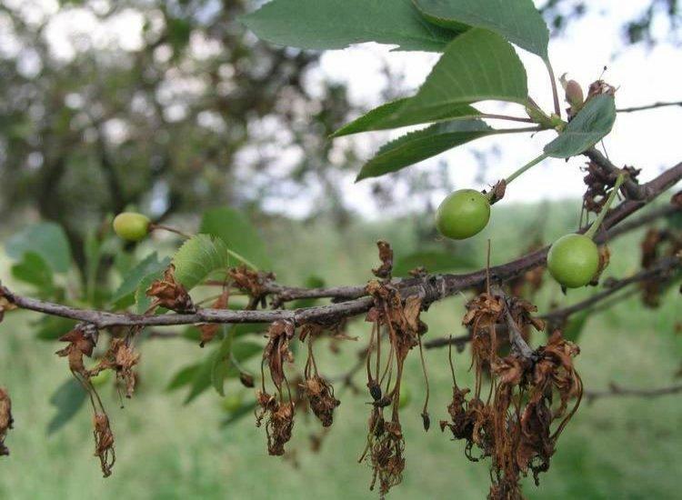 Почему абрикос сбрасывает зеленые плоды: частые причины и меры борьбы