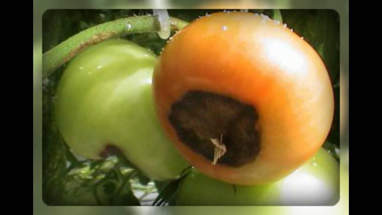 Вершинная гниль на помидорах как бороться причина появления видео