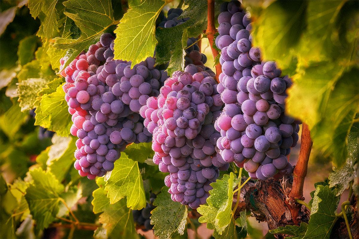 Сорт винограда софия: описание, фото