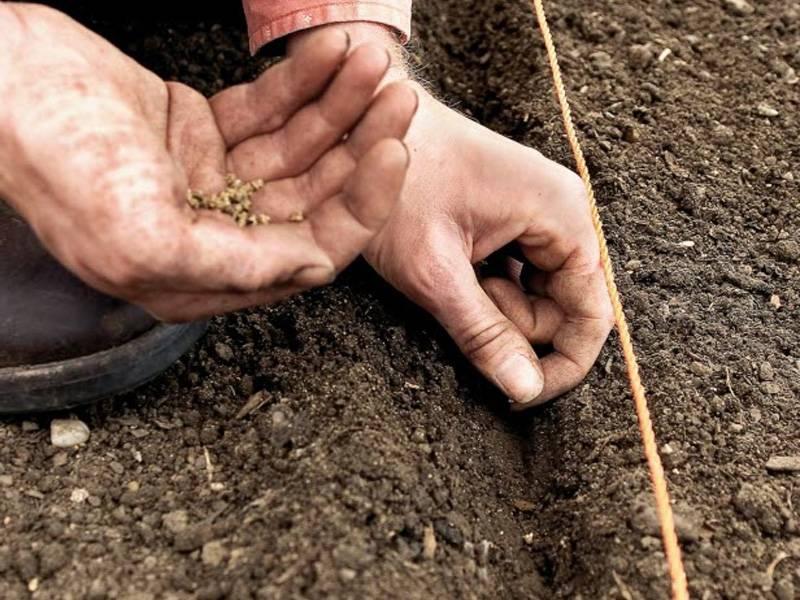 Как посеять морковь, чтобы потом не прореживать: как правильно сажать в открытый грунт семена с песком (соотношение), какой способ лучше, чтобы быстро взошли? русский фермер