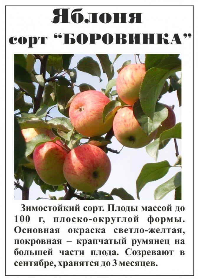 Яблоня малюха: особенности сорта и ухода