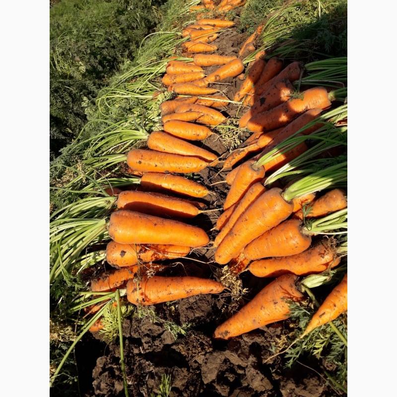 Морковь абако: описание сорта, выращивание и уход