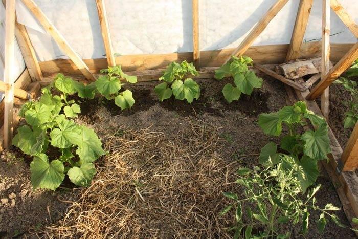 Мульчирование томатов в теплице и открытом грунте: чем и как лучше проводить с фото