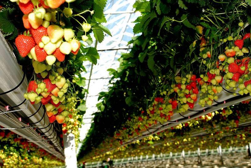 Бизнес идея выращивание клубники в теплице круглый год с расчетами