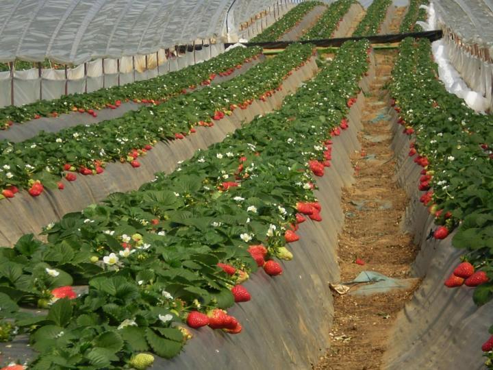 Выращивание клубники в сибири в открытом грунте: уход и посадка, лучшие сорта