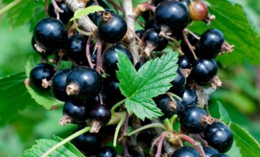 Чёрная смородина багира: описание сорта с характеристикой и отзывами, особенности посадки и выращивания и ухода, фото