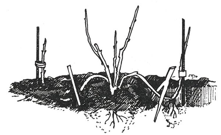Как размножить сливу порослью | мой сад и огород