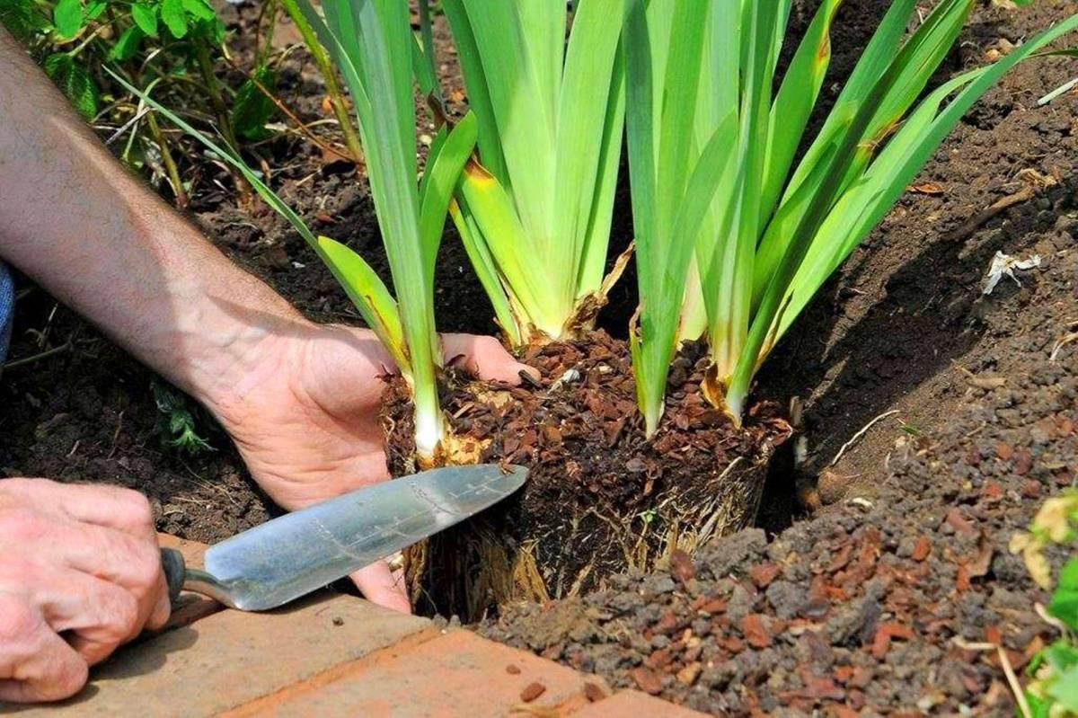Луковичные ирисы (43 фото): посадка и уход в открытом грунте. как посадить луковицы весной? как они выглядят и как размножаются? нужно ли выкапывать луковицы на зиму?