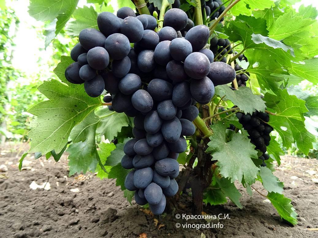 Виноград рошфор: описание сорта, фото, отзывы, видео