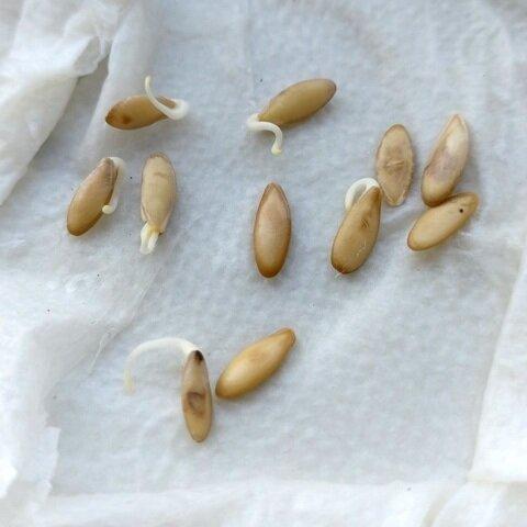 Подготовка семян огурцов к посеву: как прогревать, в чем протравить, нужно ли проращивать