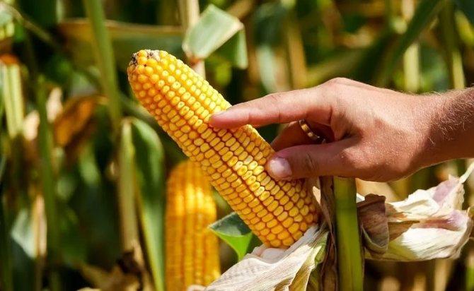Кукуруза: посадка и уход в открытом грунте в средней полосе россии