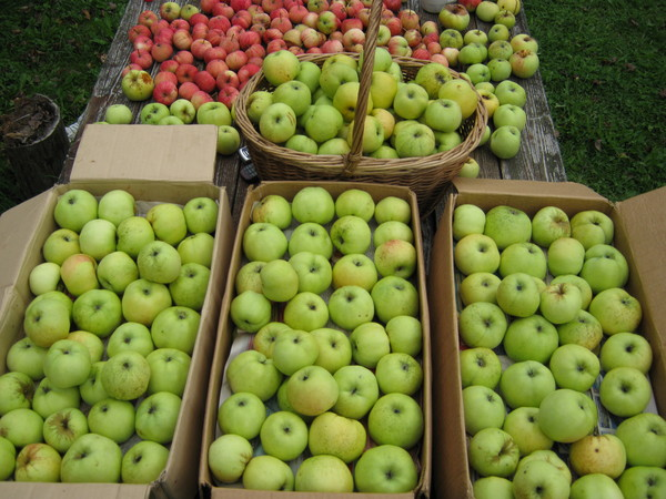 Яблоня гала маст: фото и описание сорта, отзывы