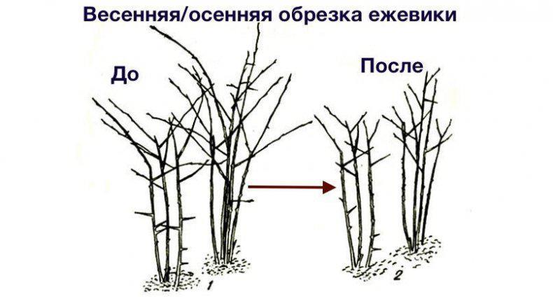 Ежевика выращивание и уход: как ухаживать, как посадить