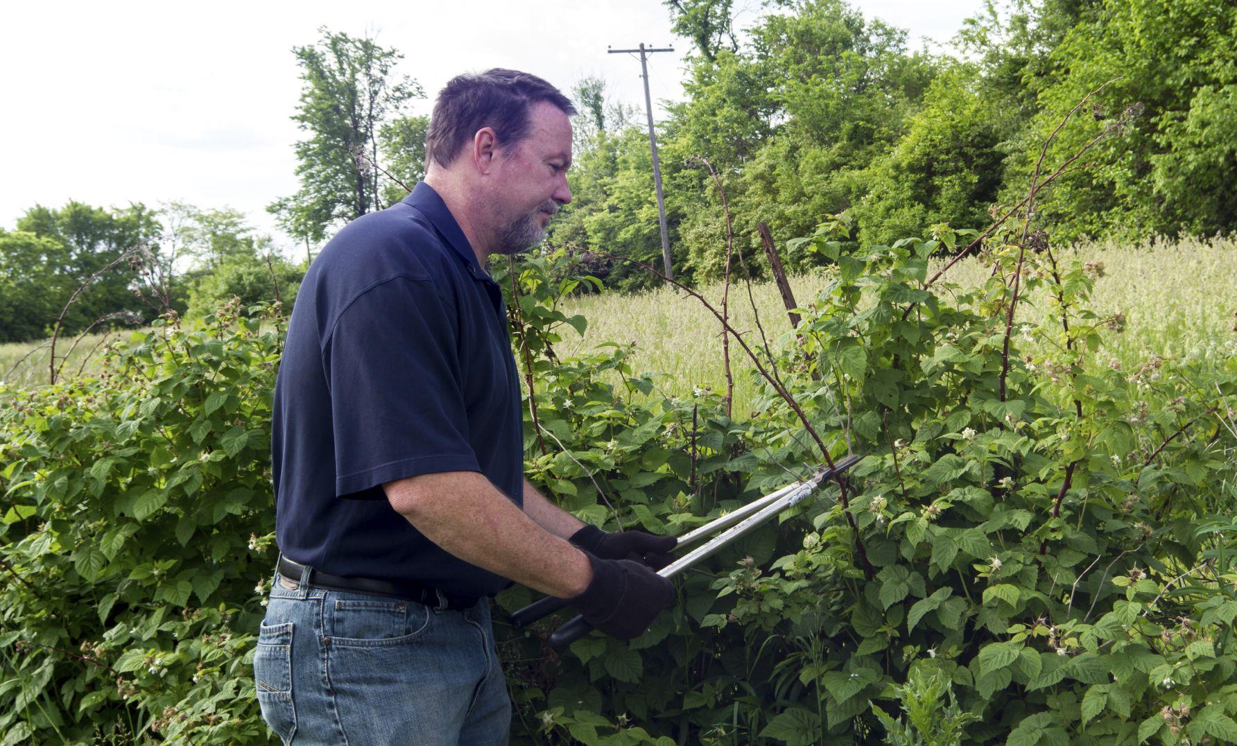 Уход и выращивание малины весной и осенью