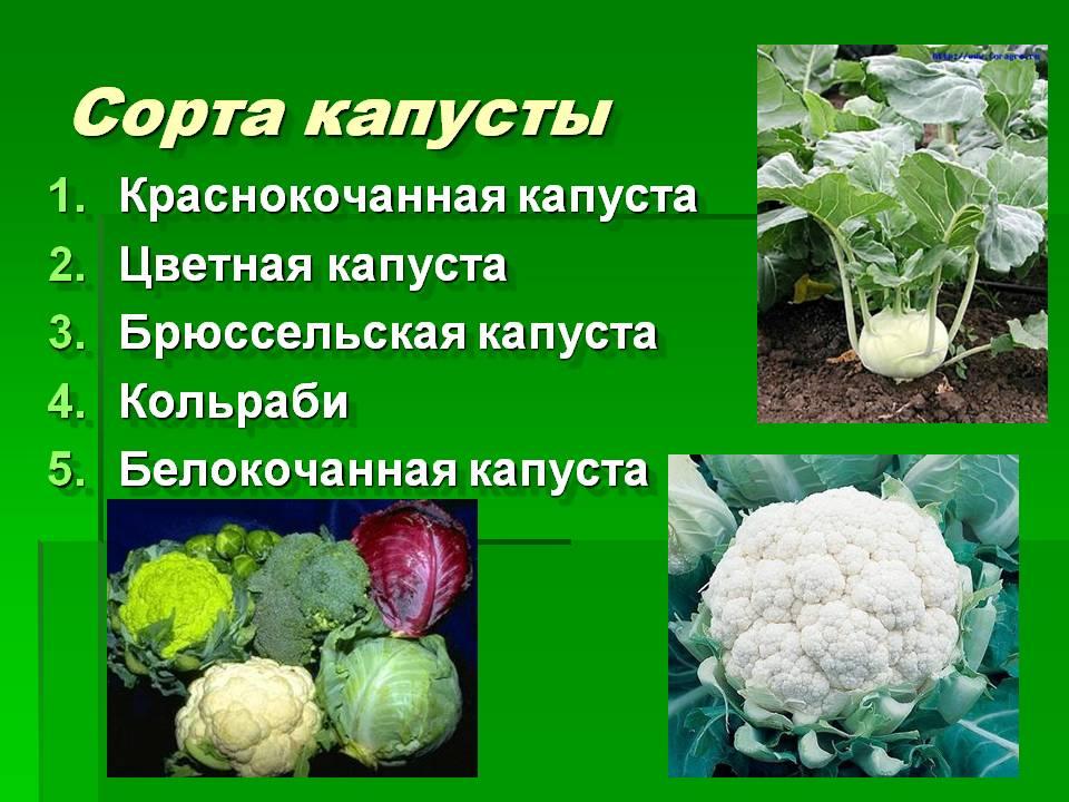 Разновидности и сорта капусты: характеристика и описание