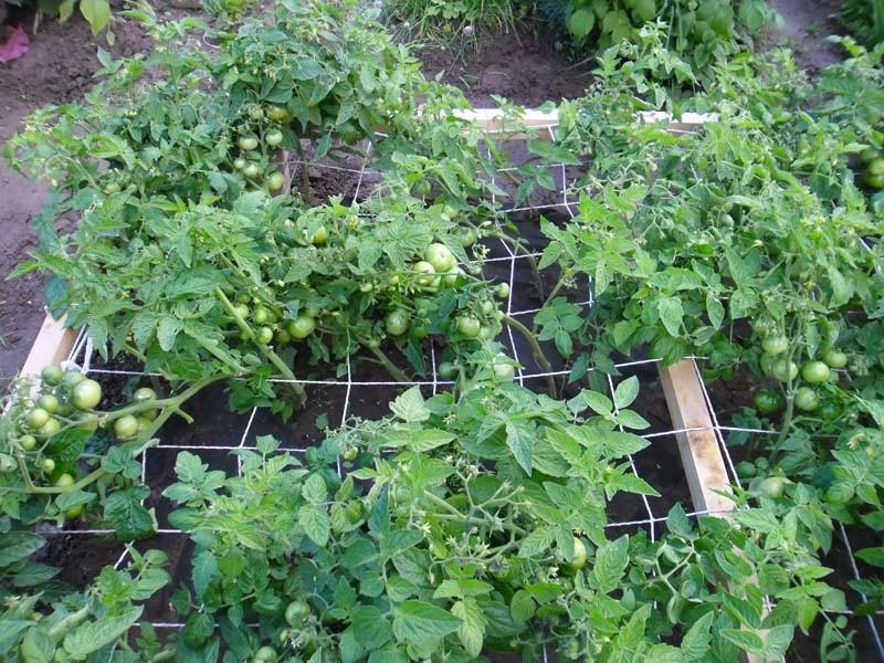 Помидор черри выращивание: когда сеять рассаду и как вырастить из нее томаты? секреты посадки, ухода русский фермер