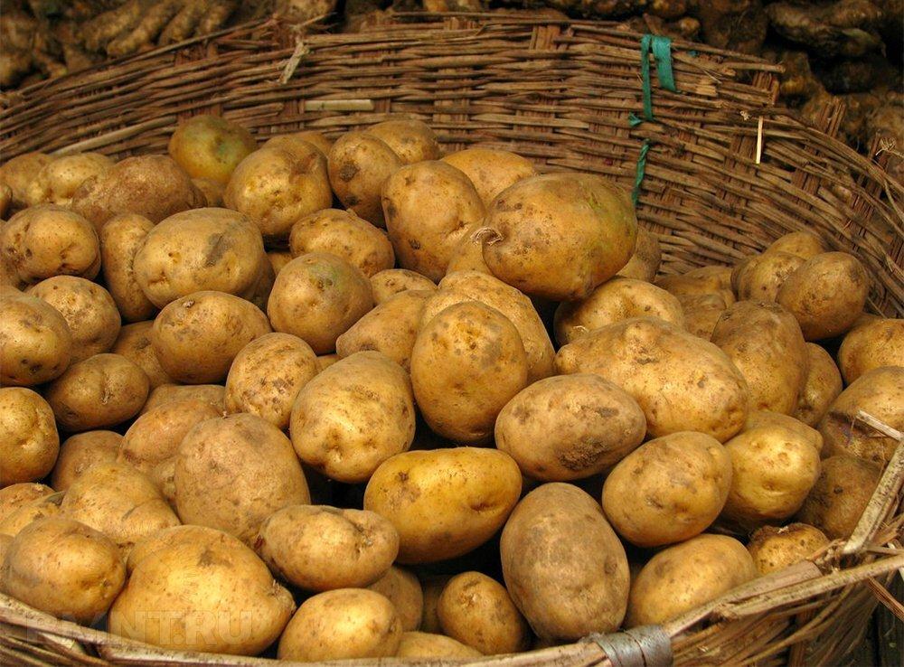 Подробное описание и тонкости выращивания картофеля лорх