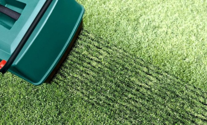Овсяница луговая для газона: особенности посадки и ухода - дачник