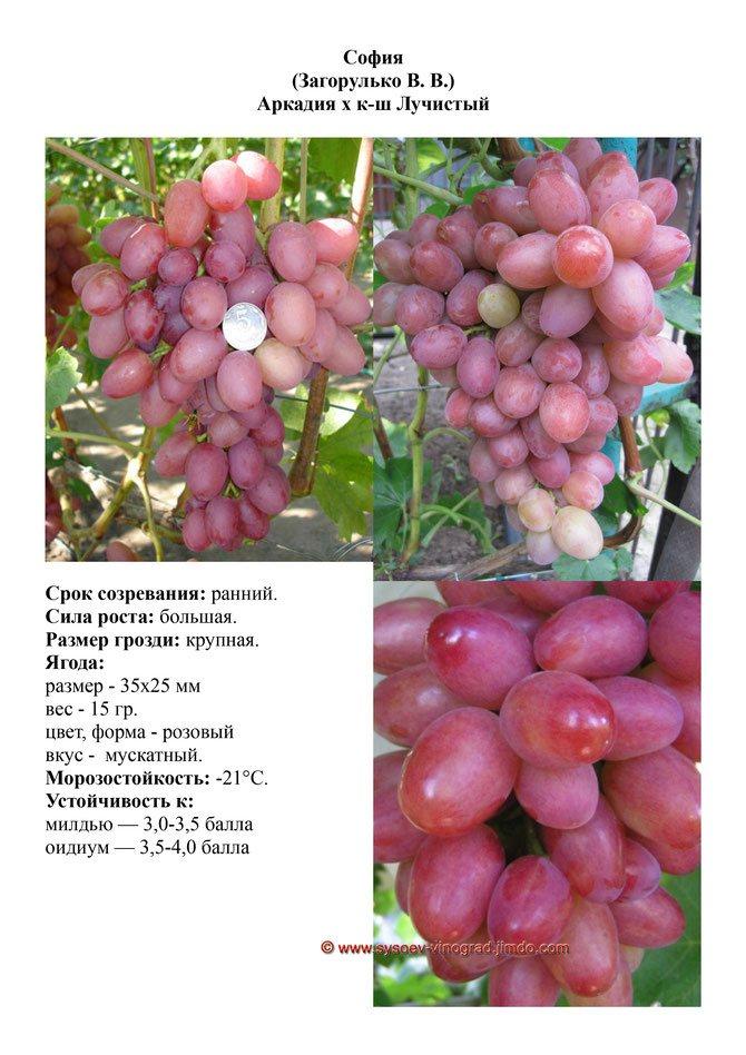 Описание и выращивание винограда сорта подарок ирине
