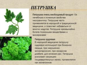 Сорта петрушки: виды и разновидности, фото