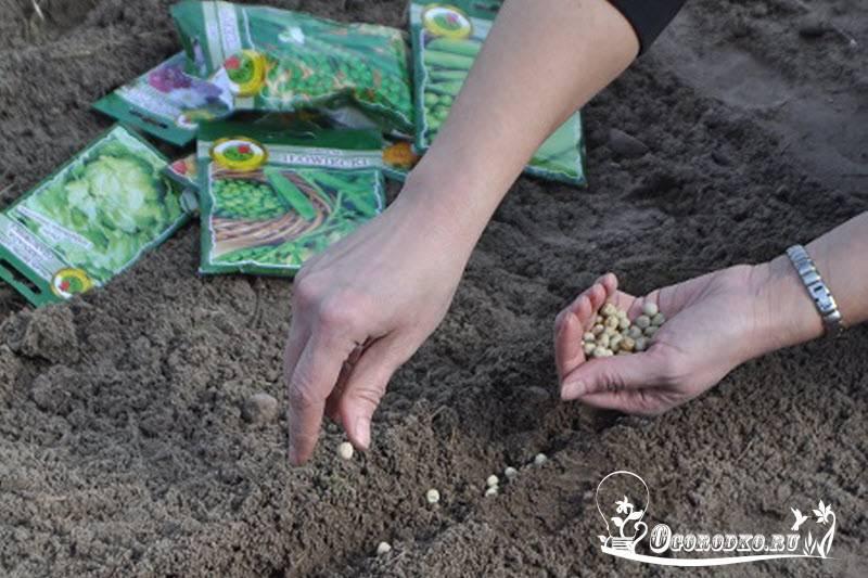 Когда и как сажать горох в открытый грунт весной