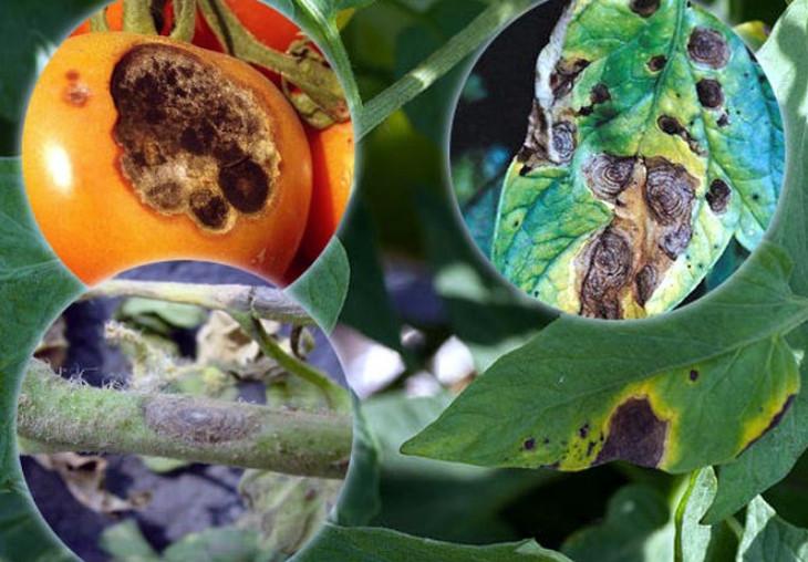 Альтернариоз разных растений. как избавиться от болезни?