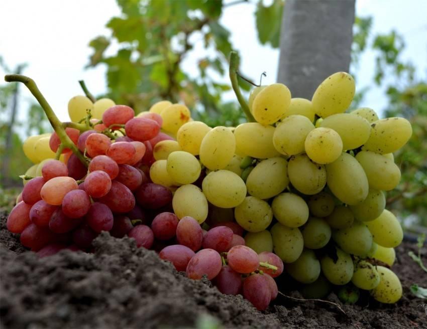 Виноград лора описание сорта фото отзывы: правила посадки и ухода в саду, селекция, положительные качества и отрицательные свойства