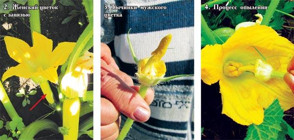 Прищипывание дыни: как сделать формирование растения в открытом грунте
