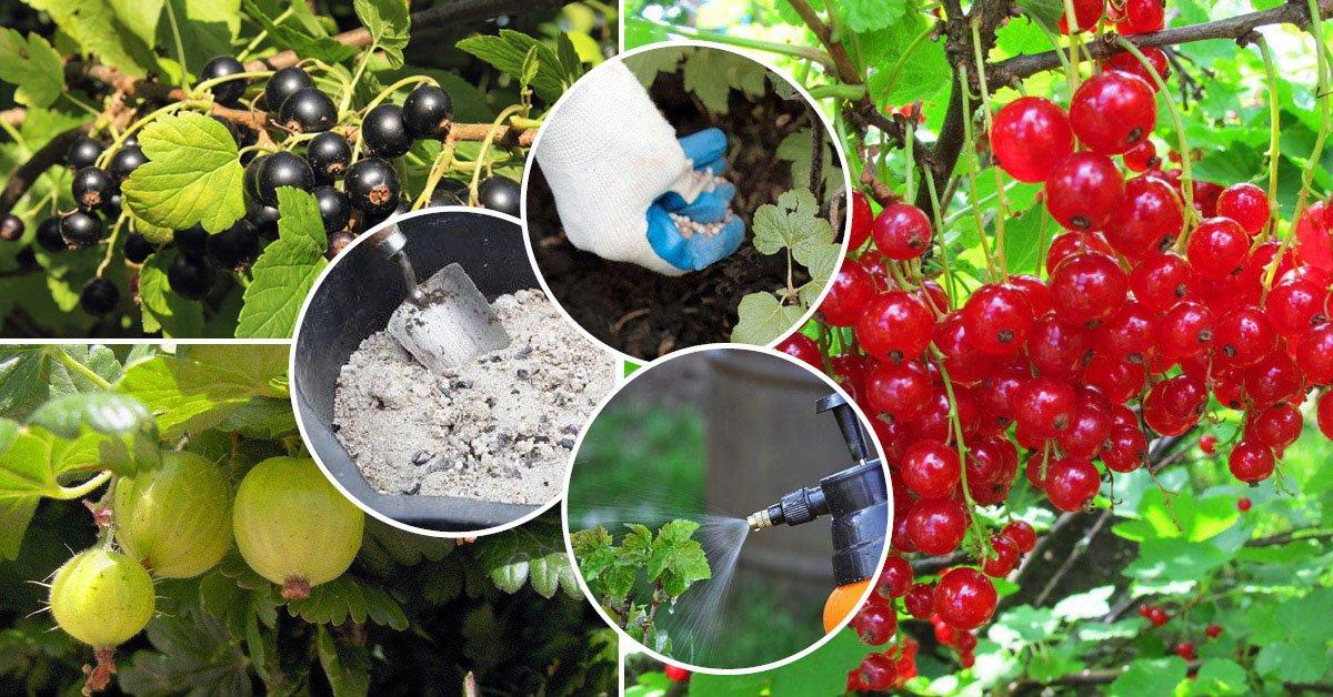 Чем подкормить смородину осенью после сбора урожая: виды удобрений