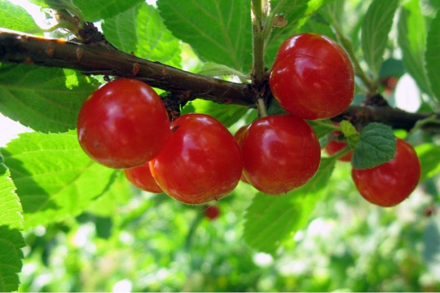 Войлочная вишня – как выглядит, отличие от обыкновенной вишни, популярные сорта, как вырастить из косточки?