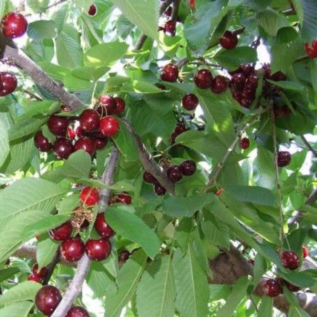 Черешня ревна: описание сорта, отзывы и особенности выращивания