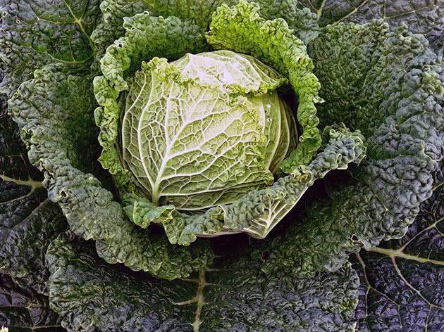 Савойская капуста: выращивание и уход, фото