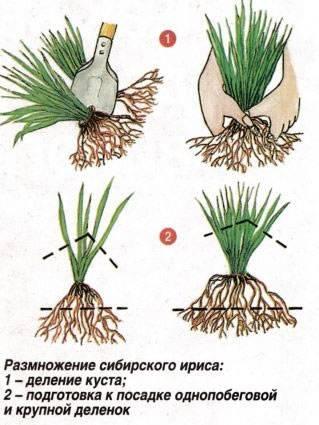 Ирисы: виды, посадка, размножение и уход в открытом грунте