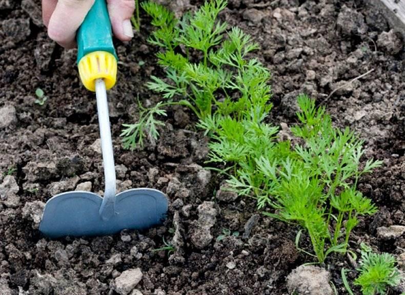 Щавель - посадка и уход в открытом грунте, особенности выращивания