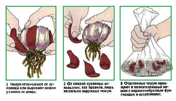Как выбрать лилии и не разочароваться на supersadovnik.ru