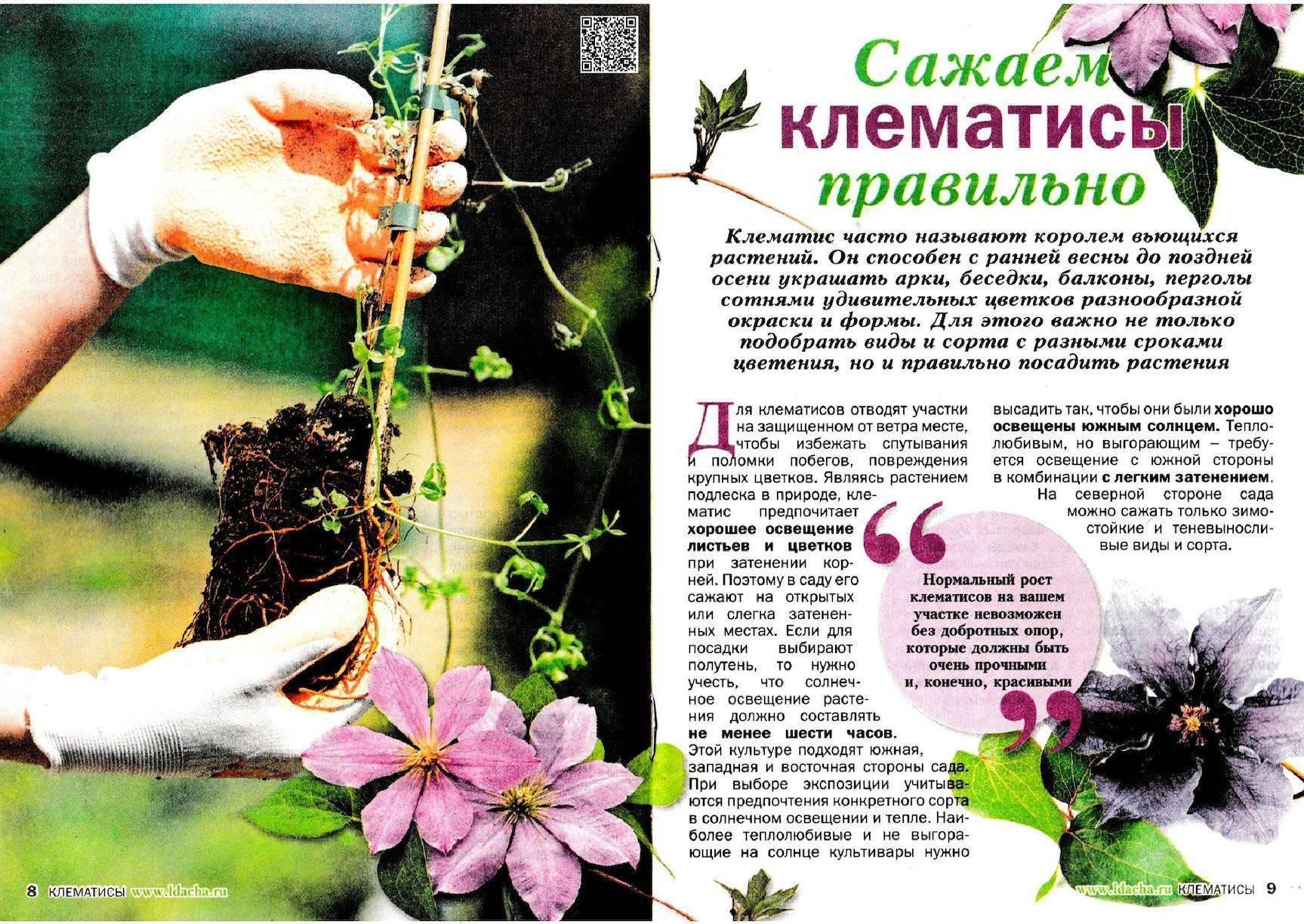 Размножение клематиса черенками, как посадить осенью в открытый грунт на урале и в подмосковье, фото и видео